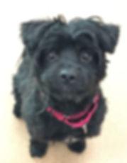 King Black terrier x.jpg