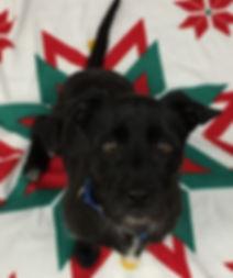 Oreo Terrier mix in sit.jpg