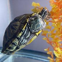 tori-turtle.jpg