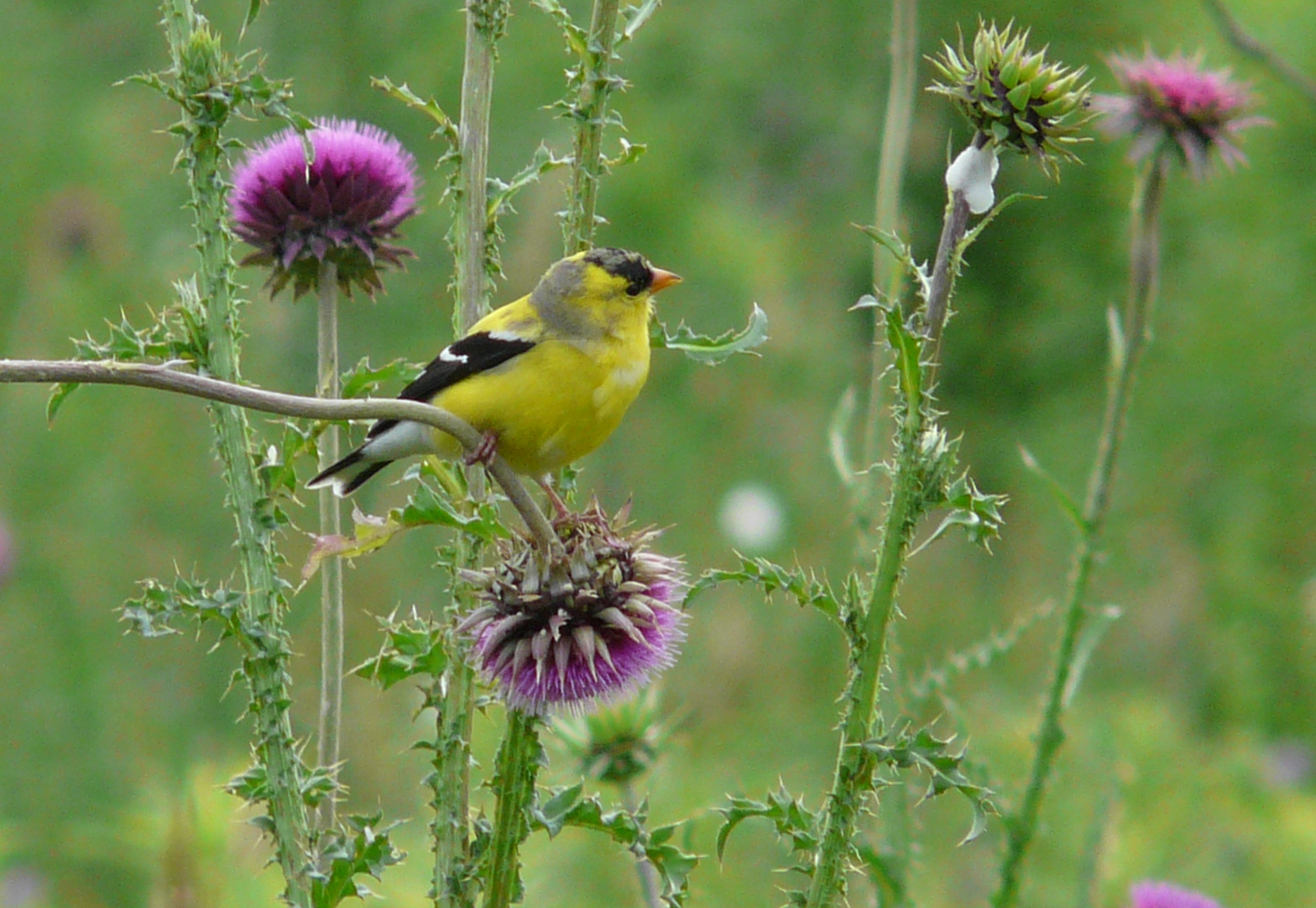 american goldfinch 062813