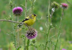 american goldfinch 062813