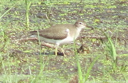 spotted sandpiper 091816