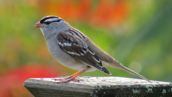 white crowned sparrow 100316
