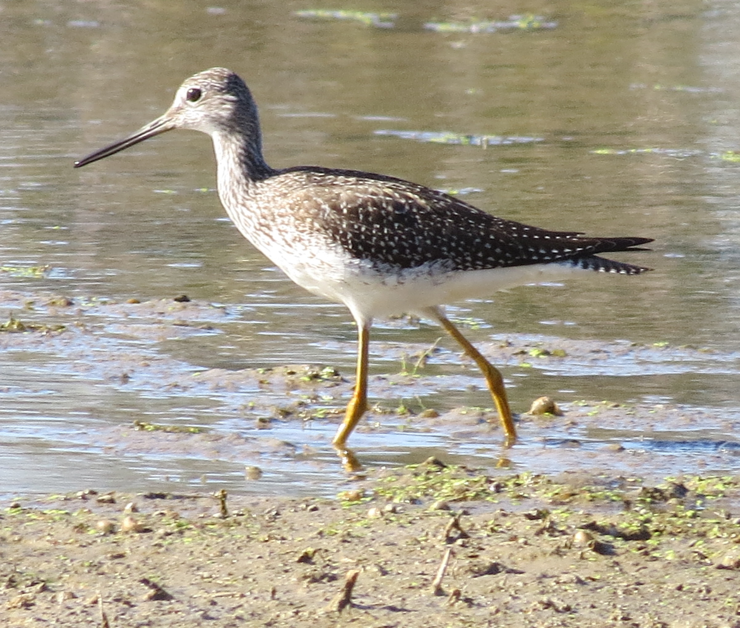 greater yellowlegs 091616