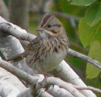 lincoln sparrow 091513
