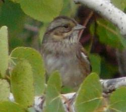 swamp sparrow 091513