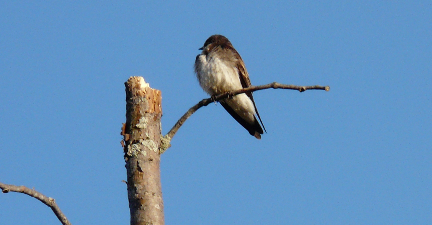 northern rough winged swallow 050713