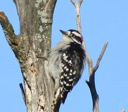 downy woodpecker 092516