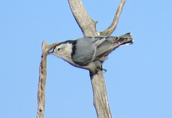 white breasted nuthatch 092516