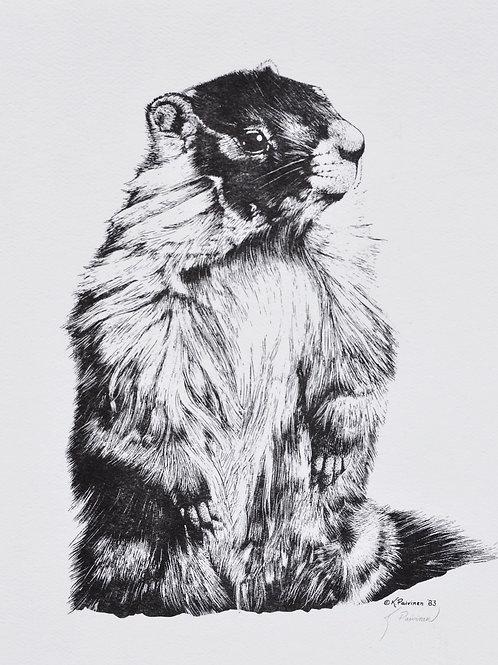 Yellow-bellied Marmot Scratchboard Print