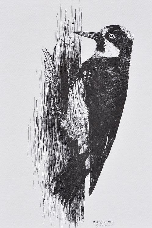 Acorn Woodpecker Scratchboard Print