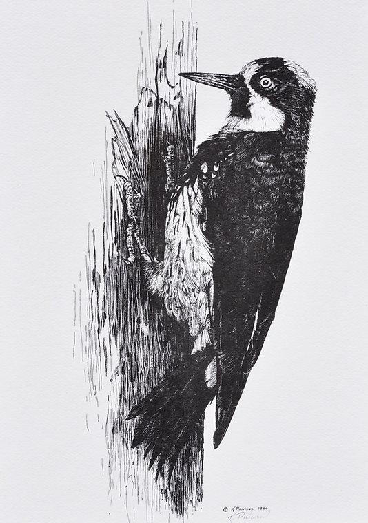 scratchboard print of Acorn Woodpecker by Kathy Paivinen