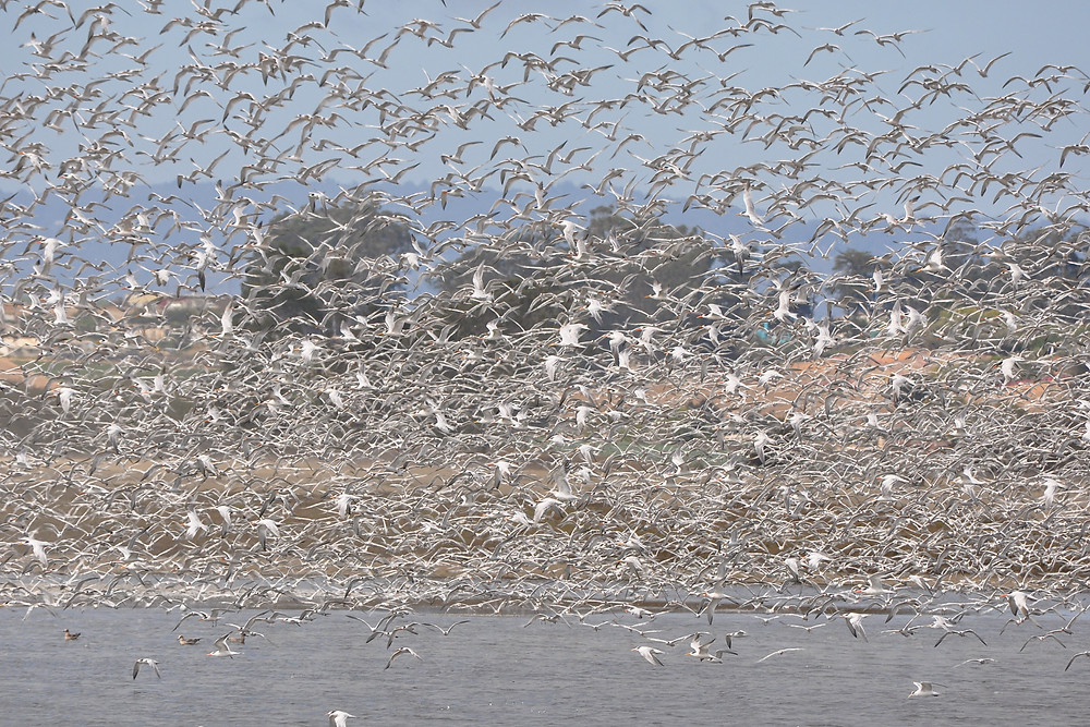 Elegant Terns arrive in Moss Landing and Elkhorn Slough by the thousands