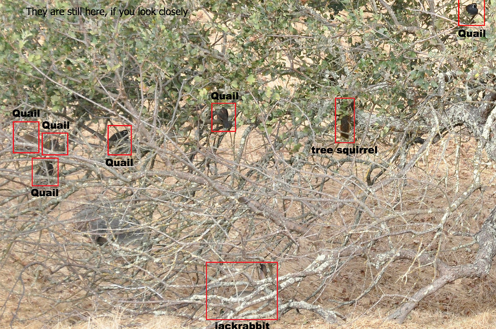 California Quail, tree squirrel, Black-tailed Jackrabbit