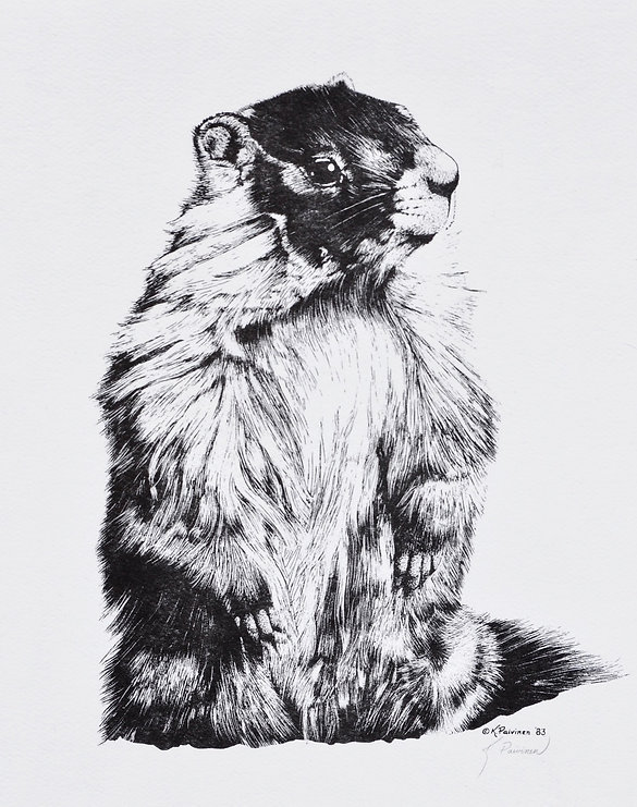scratchboard print of Yellow-bellied Marmot by Kathy Paivinen