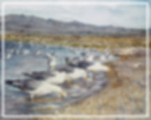 California Gulls feed on brine flies at Mono Lake, watercolor by Kathy Paivinen