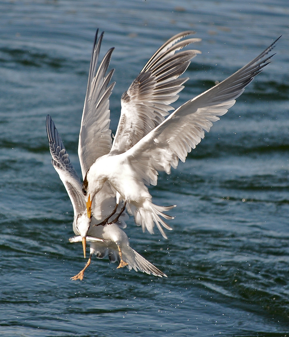 Adult tern attempting to steal from an adolescent