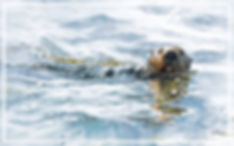 watercolor painting of Southern Sea Otter on Elkhorn Slough, watercolor by Kathy Paivinen