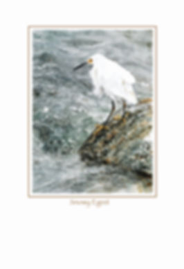 fine art poster of watercolor painting of Snowy Egret, by Kathy Paivinen