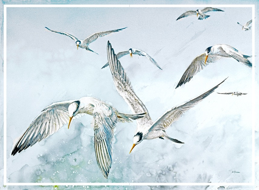 adult and juvenile Elegant Terns at Elkhorn Slough, watercolor by Kathy Paivinen