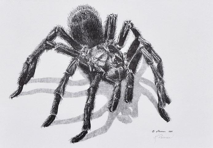 scratchboard print of tarantula by Kathy Paivinen