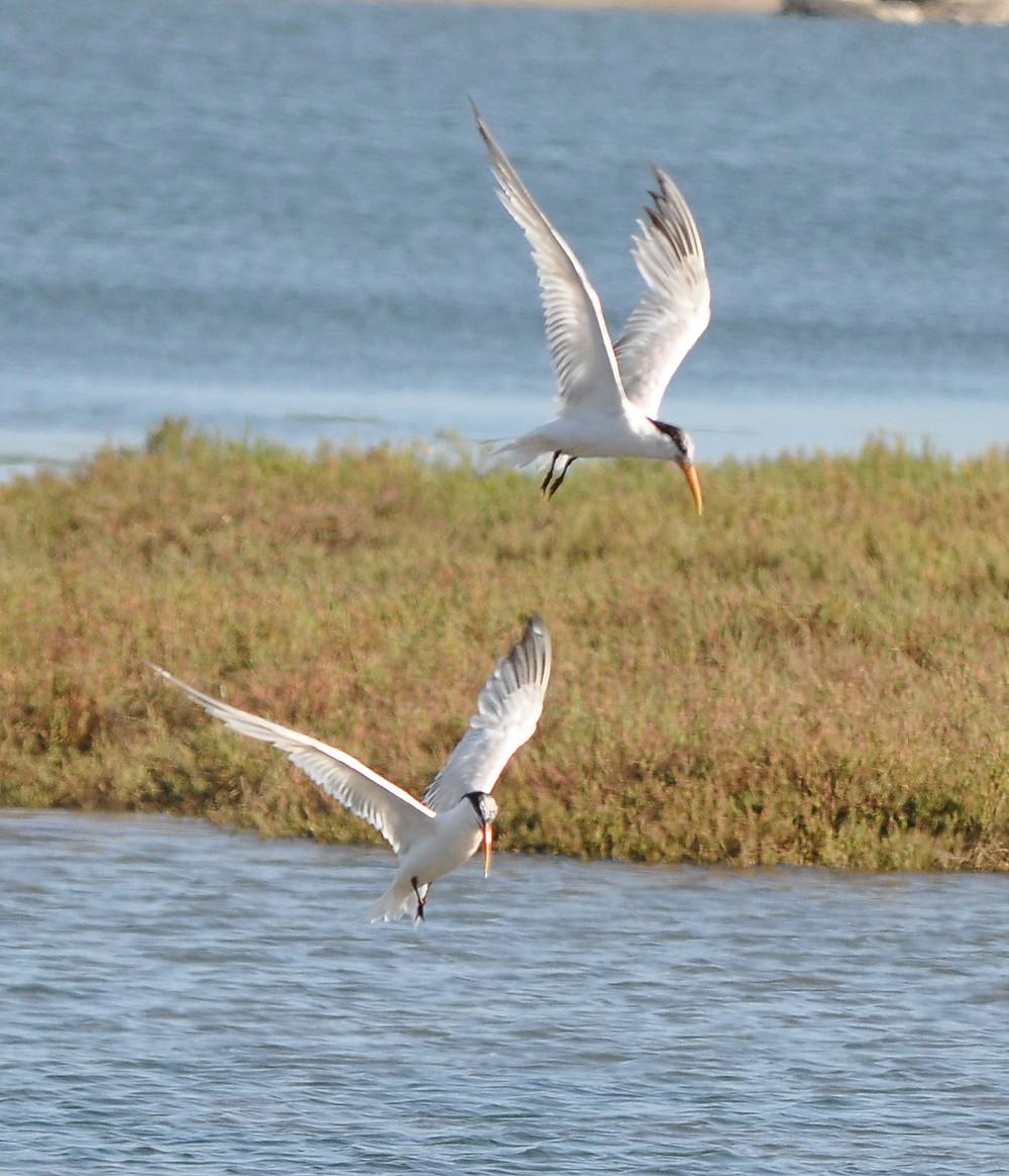 Elegant Terns, Moss Landing Harbor
