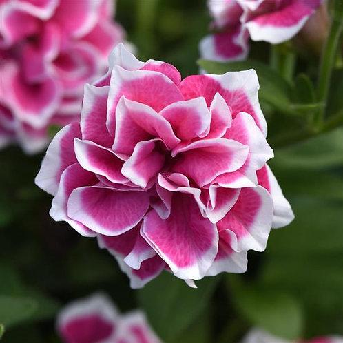 Petunia - Pink Diamond