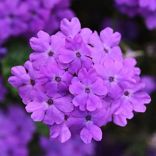 Verbena - Firehouse Grape