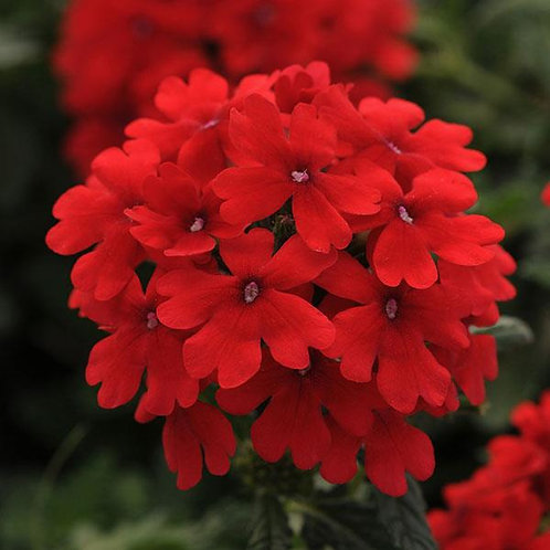 Verbena - Firehouse Red