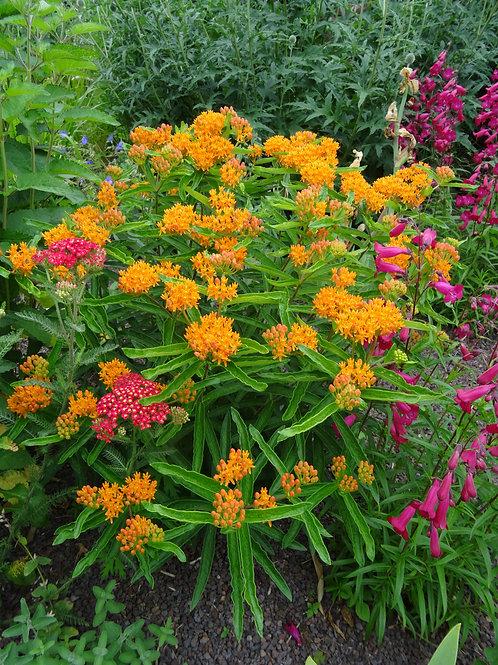 Milkweed - Butterfly Weed