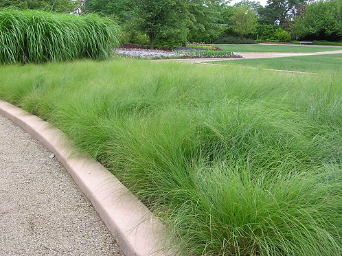 Grass - Prairie Dropseed