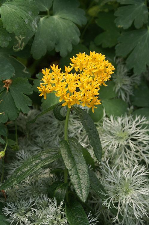 Butterfly Weed - Hello Yellow (Milkweed)