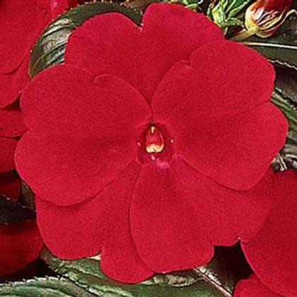 Impatiens - New Guinea Deep Red