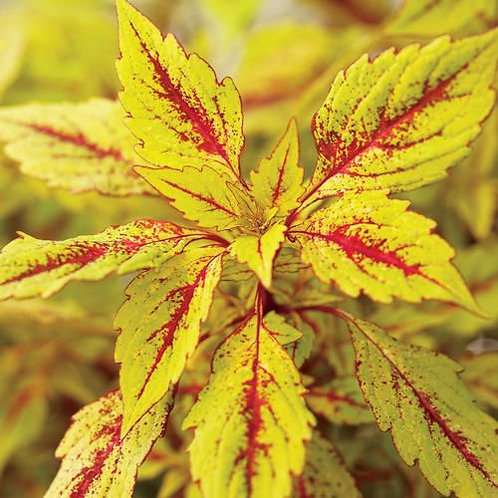 Coleus - Pineapple Splash