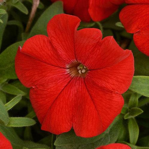 Petunia - ColorBlitz Red