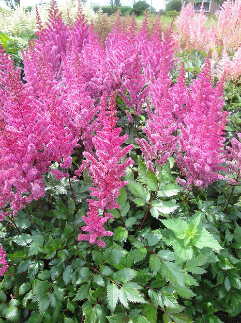Astilbe - Maggie Daley