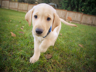 Give your puppy away (for a while)