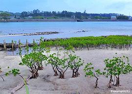 01_kuriogawa_mangrove.jpg