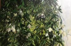 Native Clematis - NZ