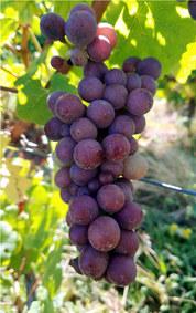 grappe de Pinot gris