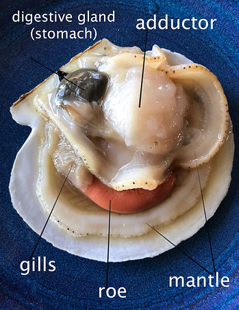 relabeled scallop resized.jpg