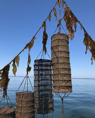 kelp and lantern IMG-3008.jpg