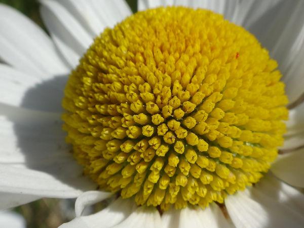 daisy closeup.JPG