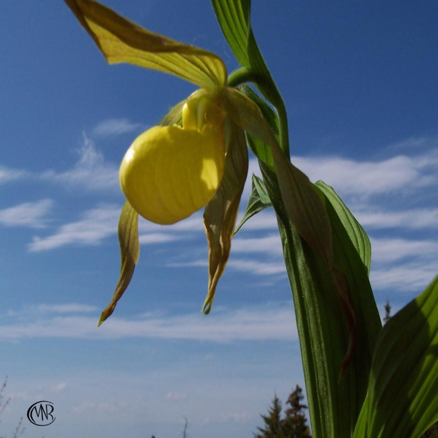 LADYSLIPPER_Yellow_Orchid_reSigned_.jpg
