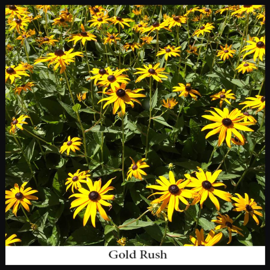 Gold_Rush_reSigned.jpg