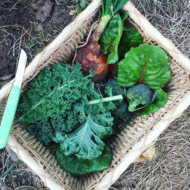 Today's garden bounty_ broccoli, chard, spinach, an onion, and kale