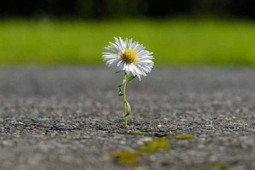 Blume auf Strasse.png