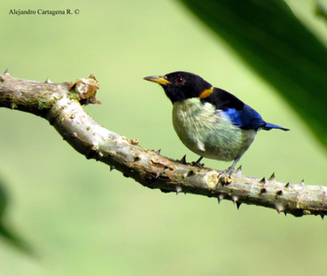 Golden-collared Honeycreeper (Iridophane