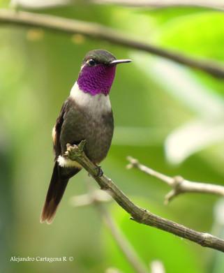 Near Endemic Purple-throated Woodstar (Calliphlox mitchellii)