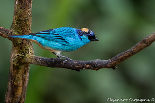 Golden-naped-Tanager.jpg